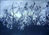 night trees by Judy Willoughby, Artist Print, Screen Print